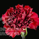 Amico Crimson