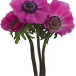 Anemone Dark Pink
