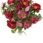 Asters Bi Red