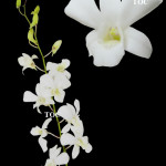 BIG WHITE AROON