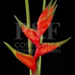 Heliconia-Bihai-Adrian-Red