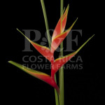 Heliconia-Stricta-Lary