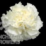 Komachi White