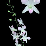 MISS ORCHIDS
