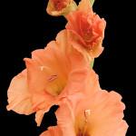 Orange Orange Sherbet