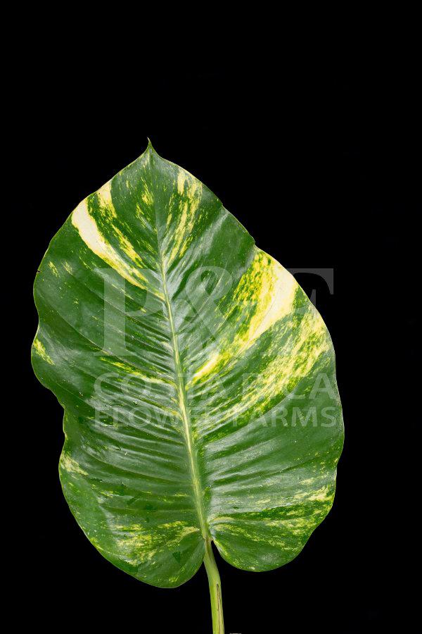 Lilys Enterprises 187 Tropical Foliages