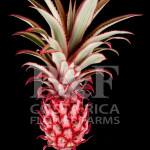 Pineapple-Select