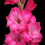 Pink Best Rose