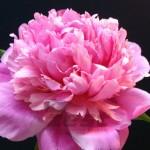 Pink Parfait