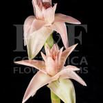Porcelain-Rose