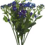 SENECIO - BLUE