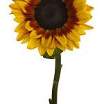 Sunflower Mahogony