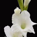 White Rainier