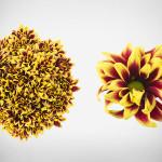 daisy orinoco yellow