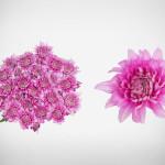pink royalist