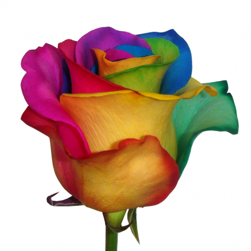 Lilys enterprises roses tinted for How much are rainbow roses