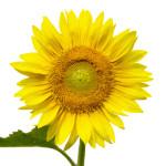 Sunflower Green Center