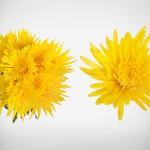 yellow anastasia