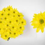 yellow atlantis