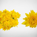 yellow golden polaris