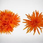 anastasia orange
