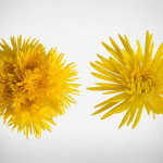 anastasia yellow