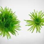 delistar green